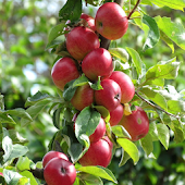 Red Apples LWP