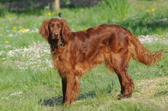 Photo: Irish Setter  (Senta)