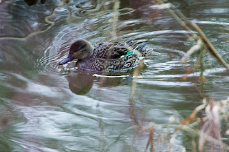 Photo: Green Winged Teal, Kelly's Brook, NL
