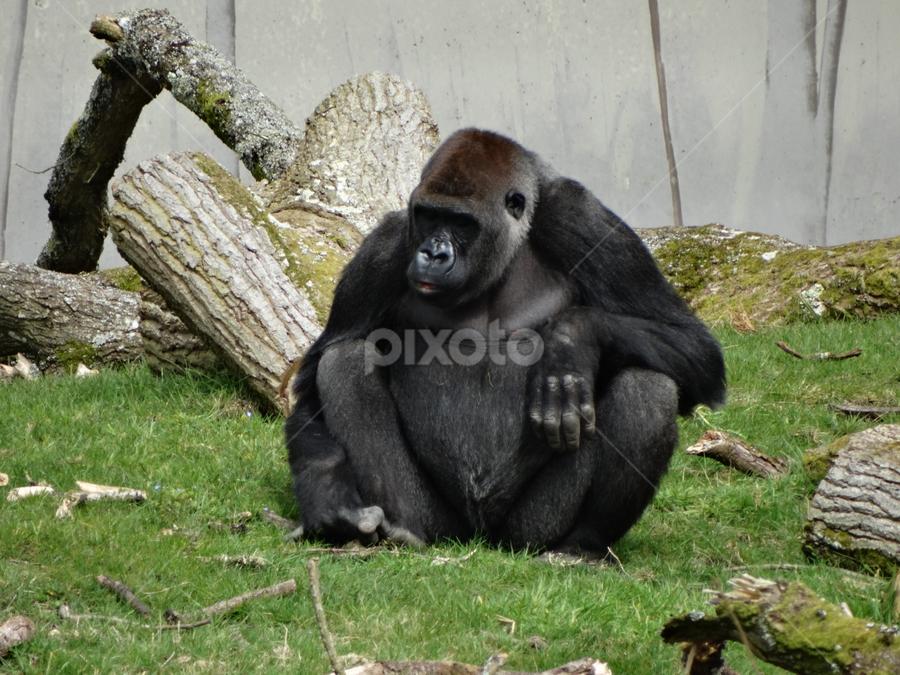 gorilla by Iain Weatherley - Animals Other Mammals ( gorilla )