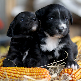 sisters by Suzana Svečnjak - Animals - Dogs Puppies ( animals, puppies, dogs, pets )