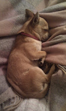Photo: This is Honey the chihuahua keeping warm on her favourite blanket, a Brora random rug! Honey's owner Hayley works in Brora Head Office.