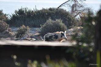 Photo: Híbrido entre jabalí y cerdo doméstico en Doñana. Algo muy pero que muy extraño.