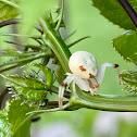 Aranha carangueijo