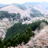 Japan:MountYoshino Sakura