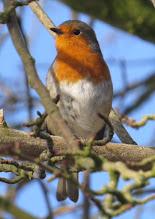 Photo: Robin 8 Feb 2015  © Updale Natural History Recorder 2015