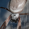 Australian golden orb-weaving spider