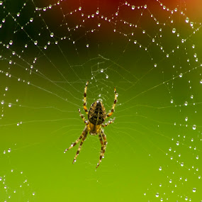 ORB WEAVER AND WEB IN THE RAIN 2 by Zoot The-Tog - Nature Up Close Webs ( garden spider, rain, green, web, raindrops, nature, orb weaver, spider )