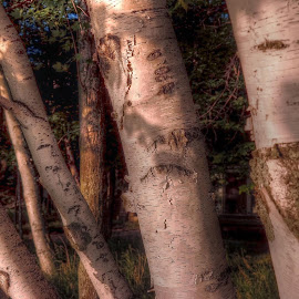 birch trees by Fraya Replinger - Nature Up Close Trees & Bushes