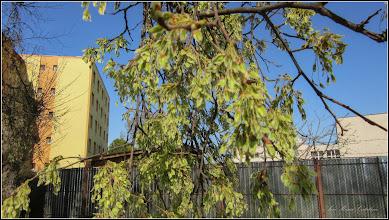 Photo: Artar - Paltin de munte (Acer pseudoplatanus)  - 2018.04.09