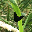 Red-shouldered Ctenucha Moth
