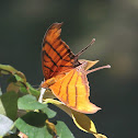 Red Daggerwing