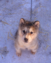 Photo: Churchill Manitoba - Husky Puppy
