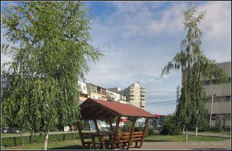 Photo: Mesteceni (Betula) - din Parcul Teilor - 2017.07.15
