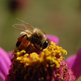 Busy little bee by Dwayne Pippin - Animals Insects & Spiders ( bee, insect, honey bee,  )