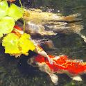 fish pond wallpaper icon