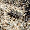 Twelve-spotted Tiger Beetle