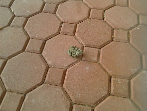 Photo: Ribbit our pet frog. Always at our doorstep