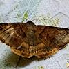 Mocis Looper Moth ♀