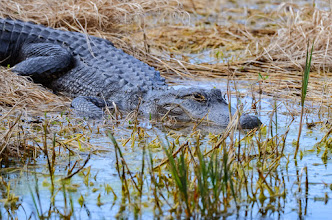 Photo: Alligator; Lake Woodruff NWR