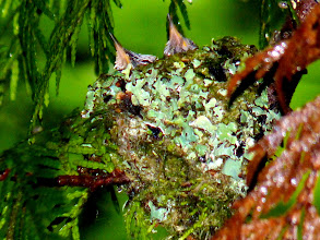 Photo: Hummingbird chicks seem OK except possibly for a coating of slime from the slug which has been removed from the nest.