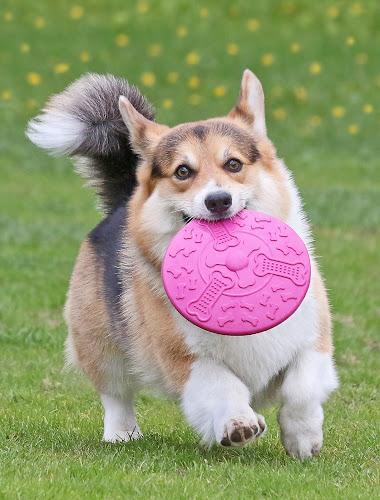 Frisbee! by Mia Ikonen - Animals - Dogs Playing ( happy, pembroke welsh corgi, finland, fun, running )