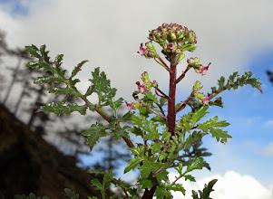 Photo: Scrophularia canina subsp. tristis (F.Malý) Nikolic. -  žalosni strupnik.