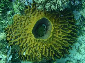 Photo: Arothron nigropunctatus (Dogface Puffer), Xestospongia testudinaria (Barrel Sponge), Siquijor Island, Philippines