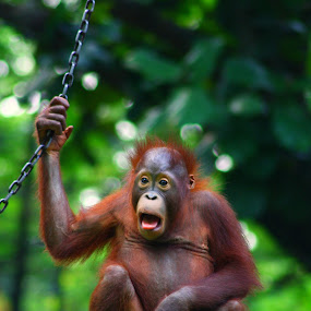 Orang Utan by Fiqih al Aziz - Animals Other Mammals