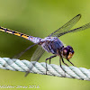 Yellow-tailed Ashy Skimmer or Common Chaser