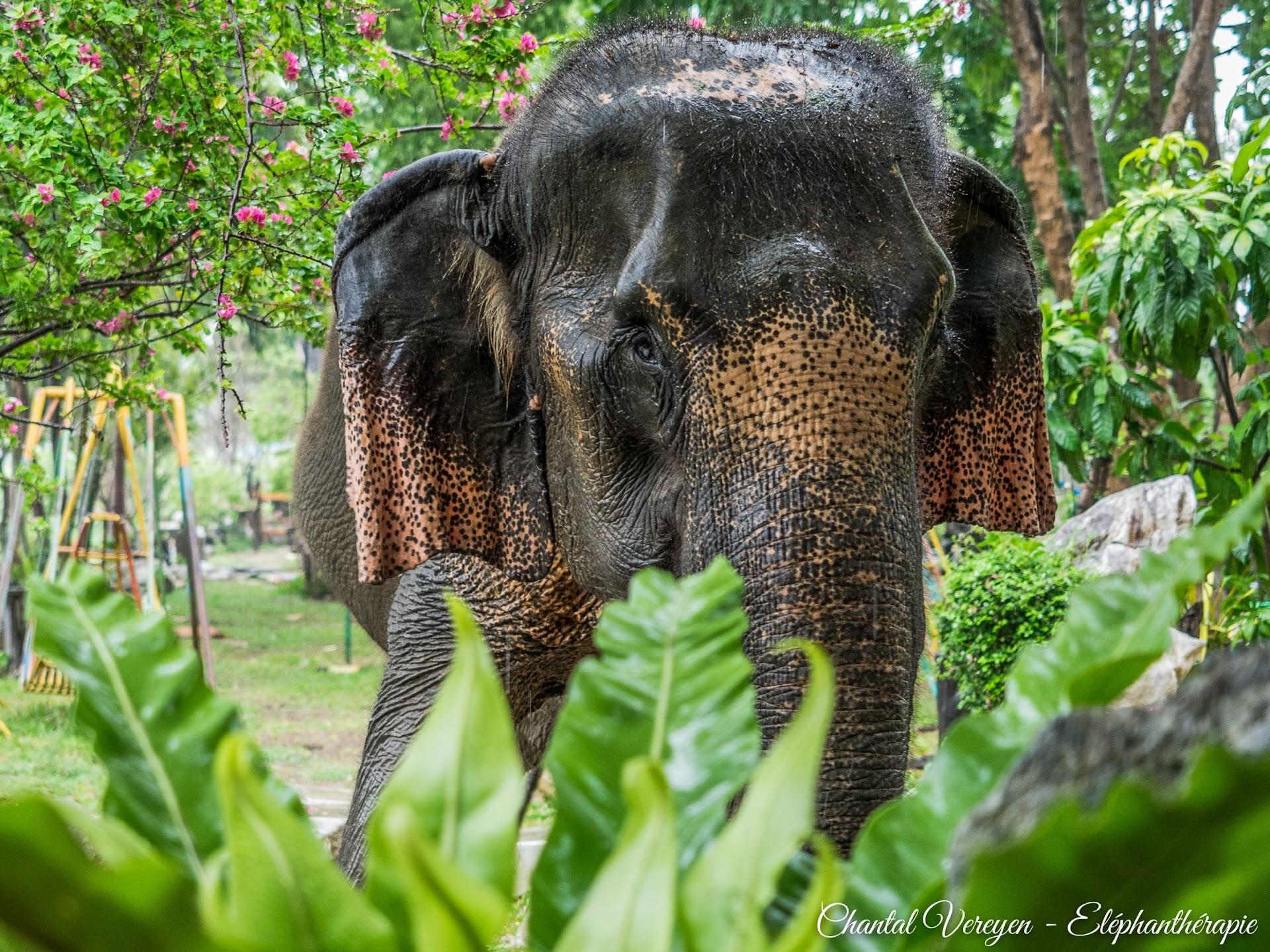 Tao,BaanMama,staged'éléphanthérapieChantalVereyen