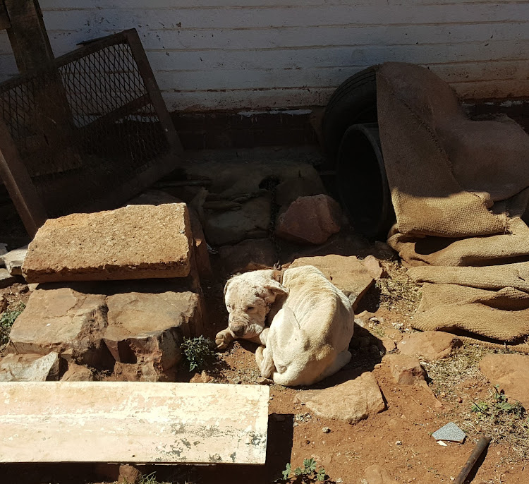The National Council of SPCAs found three pit bull terriers and five crossbreed dogs at a property in Eden Park, Ekurhuleni on August 22 2016 who were used for dog fighting.