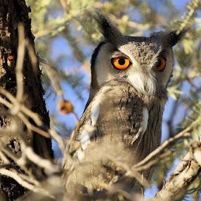 White Faced Owl by Sheila Grobbelaar - Animals Birds ( kgalagadi )