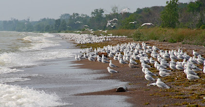 Photo: #BirdPoker: Gulls, curated by +Phil Armishaw  I don't ahve any shots of them eating, so I'll just throw a few thousand of them out there. Mostly ring-bills. Taken at Point Pelee NP, Ontario, Canada, July 2011
