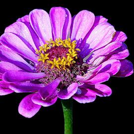 Violine zinia by Gérard CHATENET - Flowers Single Flower