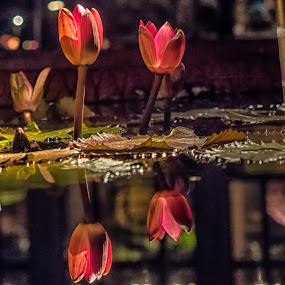 Tropical Night-Blooming Water Liliy Buds by Jim Salvas - Flowers Flower Buds ( reflection, lilies, lily pad, buds, pond )