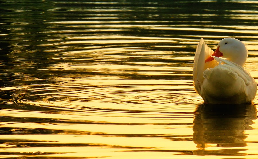 duck on the golden lake by Bahattin Urganci - Landscapes Waterscapes