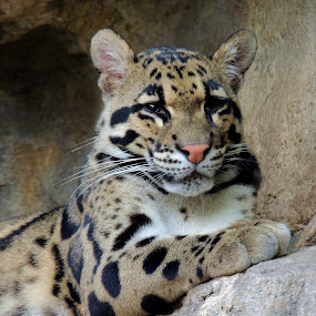 Clouded Leopard by Cathy Hood - Animals Other Mammals