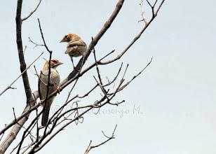 Photo: Tejedor-gorrión coronicastaño (Plocepasser superciliosus)