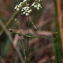 Bulbet-bearing Water Hemlock
