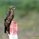 Black kite / பருந்து (Parunthu)