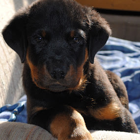 Rottweiller puppy by Eddy Dufault - Animals - Dogs Portraits