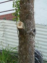 Photo: Der Apfelbaum musste einen Ast lassen, sonst hätte der Bagger nicht drehen können..... einen sehr großen.....
