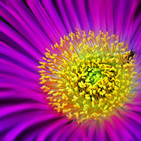 Vygie by Kittie Groenewald - Nature Up Close Flowers - 2011-2013 (  )
