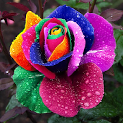rose hd wallpapers apps on google play