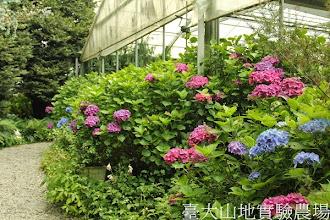 Photo: 拍攝地點: 梅峰-溫帶花卉區 拍攝植物: 繡球花 拍攝日期:2013_07_04_FY