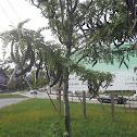 Corab tree