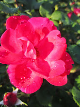 Photo: Raindrops on a deep pink rose in the late afternoon at Cox Arboretum in Dayton, Ohio.