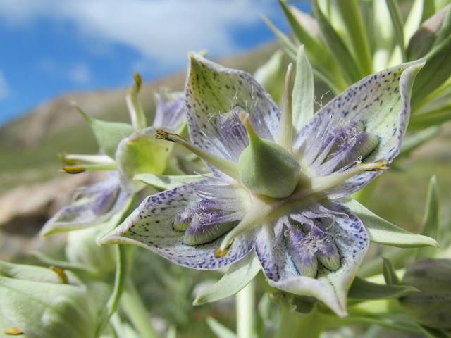 Monument Plant (Frasera speciosa)