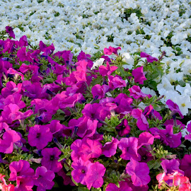 Miracle garden, Dubai by Nadeem M Siddiqui - Flowers Flower Gardens